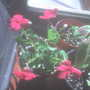 Red Impatiens (Impatiens walleriana (Busy Lizzie))