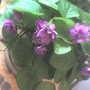Double Mini African Violet (Saintpaulia ionantha)