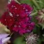 Verbena 'Claret' (Verbena canadensis (Homestead Verbena))