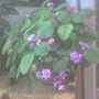 A.violet0907