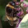 Bee on Hebe