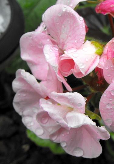 Pale Pink Geranium Flower