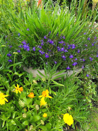 Agapanthus In a Large Container (Agapanthus africanus (African blue lily))
