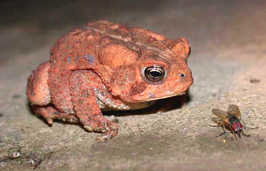 Another Toad Staredown