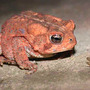 Toad_american_in_fly_staredown_med
