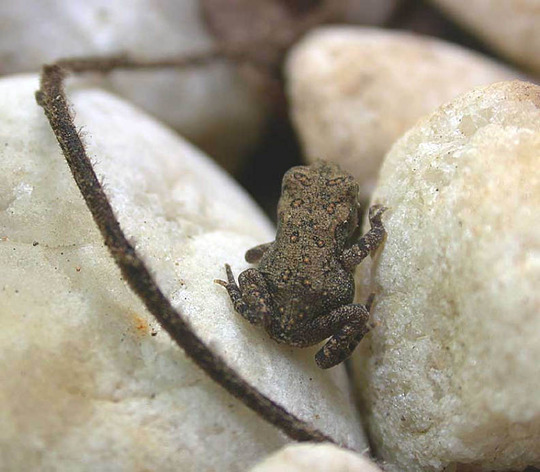 American Toad Baby