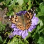 Butterfly_on_scabious_2