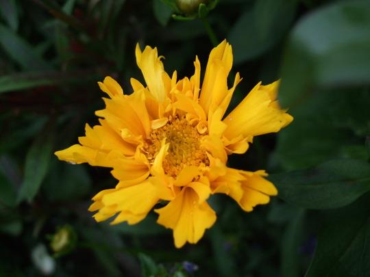 Coreopsis 'Early Sunrise' (Coreopsis)