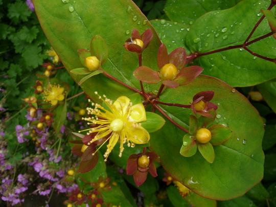 Hypericum inodorum ' Elstead '