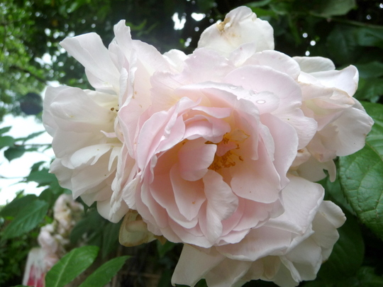 Rosa ' Fritz Noblis '