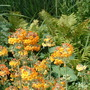 candleabra primulas and matteuccia struthiopteris by our seasonal pond