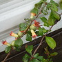 Immature fruits of Chaenomeles (Chaenomeles x superba (Flowering quince))