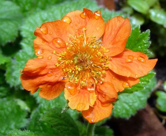 A garden flower photo (Geum coccineum (Avens))