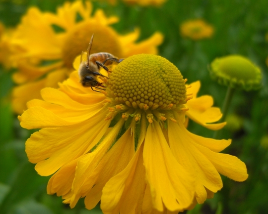 Bee hard at work on the Cone flowers. Terrace Gardens, Richmon upon Thames