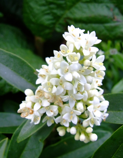 These flowers were about the size of an Elder flower