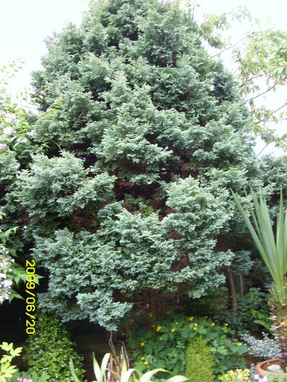 Conifer  Chamaecyparis Pisifera Boulevard (Chamaecyparis pisifera (Sawara cypress))