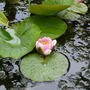 Water_lily_21.6.9
