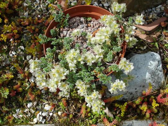 Paronychia argentea (Paronychia argentea)