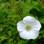 Convolvulus arvensis