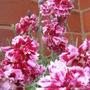 Dianthus 'Whitfield Gem' - June 2009