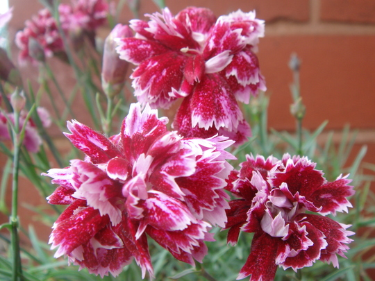 Dianthus 'Whitfield Gem' - June 2009
