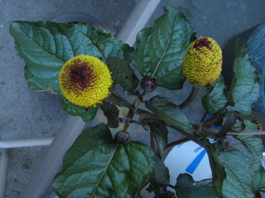 eyeball plant (Spilanthes oleracea)