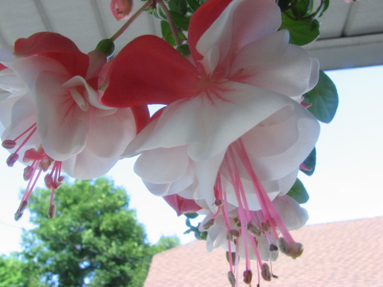 fuchsia bloom  'swingtime'