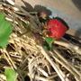 A garden flower photo (Fragaria)