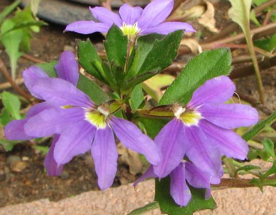Scaevola - Blue Fan (Scaevola aemula (Fairy fan-flower))