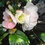 """""""Japonica"""" or Ornamental """"Quince"""" (Chaenomeles speciosa 'Moerloosei')"""