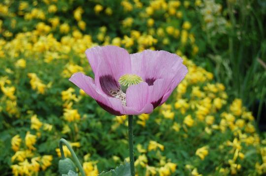 Lilac Poppy