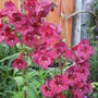 Penstemon 'Raven' (Penstemon 'Raven')