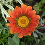 Deep_orange_gazania
