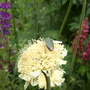 Shield Bug on Yellow Scabious