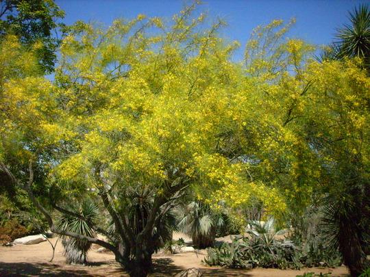 Parkinsonia aculeata - Mexican Palo Verde (Parkinsonia aculeata - Mexican Palo Verde)