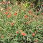 Calliandra californica - Baja Fairy Duster (Calliandra californica - Baja Fairy Duster)