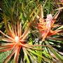 Bromelia balansae - Heart of Flame (Bromelia balansae - Heart of Flame)
