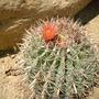 Ferocactus peninsulae var. townsendianus  - Barrel Cactus  (Ferocactus peninsulae var. townsendianus  - Barrel Cactus)