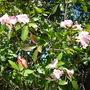 Tabebuia heterophylla - Pink Trumpet Tree (Tabebuia heterophylla - Pink Trumpet Tree)