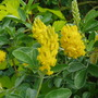 Cytisus Battandieri (Moroccan Broom)