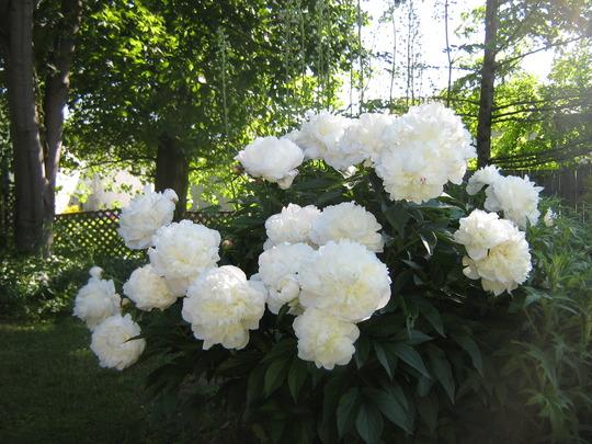 Peonies - White