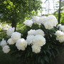 Peonies - White