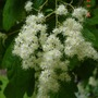 Holodiscus_discolor_flower_detail