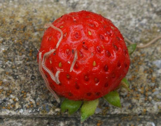 millipedes on strawberries
