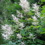 White astilbe- goatsbeard variety (Astilbe biternata)