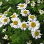 Feverfew flowers (Tanacetum parthenium)