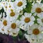 More feverfew flowers (Tanacetum parthenium)
