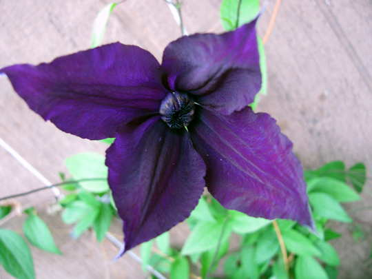 'Harlow Carr' (Clematis 'Harlow Carr')