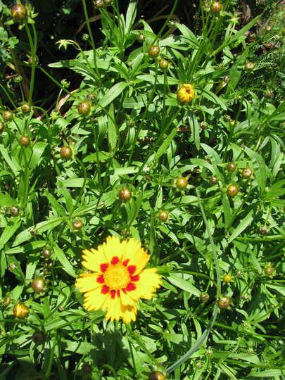Tickseed (Coreopsis grandiflora 'Domino')