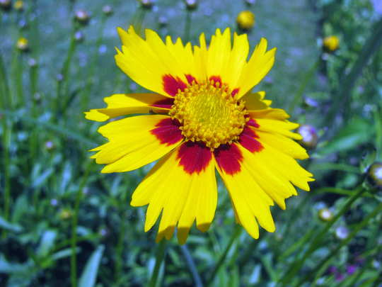 Tickseed flower (Coreopsis grandiflora 'Domino')